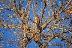 Hök för Buteo för vuxen Swainsons swainsoni för hökButeo stor av falconiformesen Colloquially bekant som den gräshoppahöken eller royaltyfri fotografi
