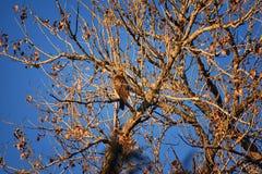 Hök för Buteo för vuxen Swainsons swainsoni för hökButeo stor av falconiformesen Colloquially bekant som den gräshoppahöken eller arkivbild