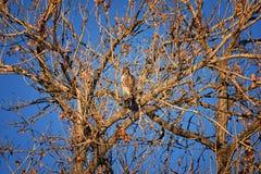 Hök för Buteo för vuxen Swainsons swainsoni för hökButeo stor av falconiformesen Colloquially bekant som den gräshoppahöken eller arkivfoton