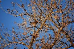Hök för Buteo för vuxen Swainsons swainsoni för hökButeo stor av falconiformesen Colloquially bekant som den gräshoppahöken eller arkivbilder