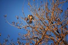 Hök för Buteo för vuxen Swainsons swainsoni för hökButeo stor av falconiformesen Colloquially bekant som den gräshoppahöken eller royaltyfria foton