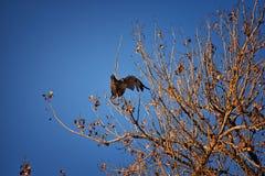 Hök för Buteo för vuxen Swainsons swainsoni för hökButeo stor av falconiformesen Colloquially bekant som den gräshoppahöken eller arkivfoto