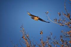 Hök för Buteo för vuxen Swainsons swainsoni för hökButeo stor av falconiformesen Colloquially bekant som den gräshoppahöken eller fotografering för bildbyråer