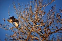 Hök för Buteo för vuxen Swainsons swainsoni för hökButeo stor av falconiformesen Colloquially bekant som den gräshoppahöken eller royaltyfri bild