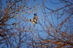 Hök för Buteo för vuxen Swainsons swainsoni för hökButeo stor av falconiformesen Colloquially bekant som den gräshoppahöken eller royaltyfria bilder