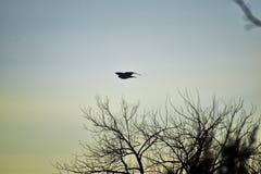 Hök för Buteo för vuxen Swainsons swainsoni för hökButeo stor av falconiformesen Colloquially bekant som den gräshoppahöken eller royaltyfri foto
