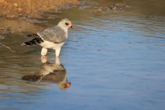 Hök Pale Chanting - lösa fåglar från Afrika - reflexioner Arkivfoto