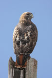 höken perched red tailed Royaltyfri Bild