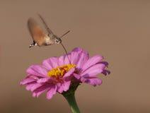 hökhummingbirdmal Arkivfoton