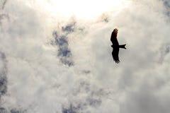HökSilhouetteflyg i molnen Royaltyfri Foto