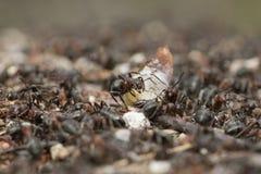 Hölzerne Ameise auf Nest Lizenzfreie Stockbilder