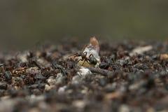 Hölzerne Ameise auf Nest Stockbild