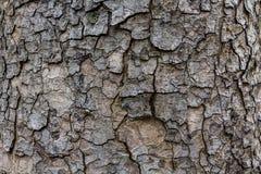 Hölzerne Beschaffenheit, ausführliche Beschaffenheit der beleuchteten Pappelbarke Stockfoto