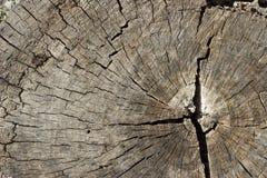 Hölzerne Beschaffenheit eines Schnittbaumstammes Stockfoto