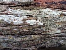 Hölzerne Beschaffenheit mit Pilzen Stockfotografie