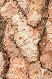 Hölzerne Beschaffenheit Organischer Hintergrund Kiefernbarke stockbild