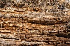 Hölzerne Beschaffenheit, von einem alten faulen Baum lizenzfreie stockfotos