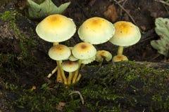 Hölzerne Blewit-Pilze Stockbilder