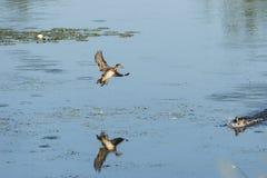 Hölzerne Ente auf Endanflug Lizenzfreie Stockfotos
