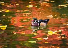 Hölzerne Ente auf goldenem Teich Stockfoto