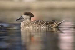 Hölzerne Ente oder Carolina-Ente (AIX sponsa) Stockfotografie