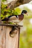 Hölzerne Ente-Paare Stockbild
