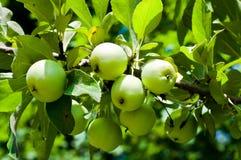 Hölzerne grüne Äpfel. Stockfoto