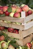 Hölzerne Kästen voll reife Äpfel Lizenzfreies Stockbild