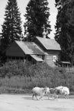 Hölzerne Kirche und Ziegen Stockfoto