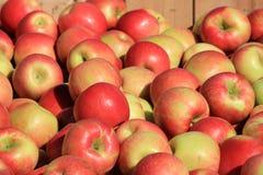 Hölzerne Kiste gefüllt mit gerade ausgewählten Äpfeln Stockfotografie