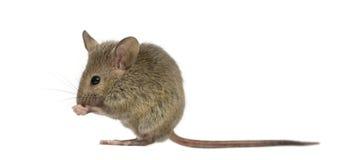 Hölzerne Mäusereinigung selbst Lizenzfreies Stockbild