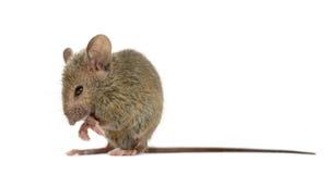 Hölzerne Mäusereinigung selbst Stockfoto