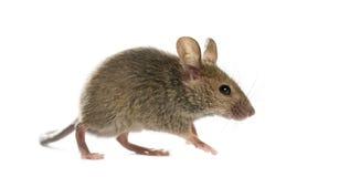 Hölzerne Maus Stockbilder