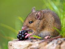 Hölzerne Maus, die Himbeere isst