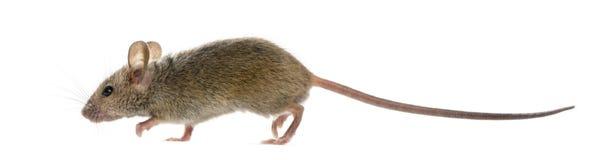 Hölzerne Maus vor einem weißen Hintergrund Lizenzfreie Stockfotos