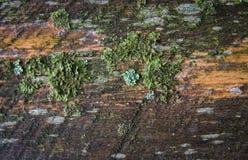 hölzerne Planke bedeckt mit verschiedenen Arten des Mooses und der Flechte Lizenzfreie Stockfotos