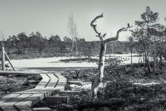 Hölzerne Spur, die durch einen gefrorenen Sumpf in Lettland führt stockbilder