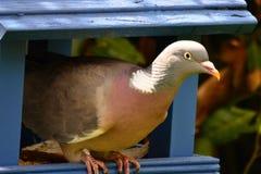 Hölzerne Taube auf Vogel-Tabelle Stockfoto