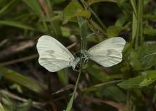 Hölzerne weiße Schmetterlinge Lizenzfreie Stockfotografie