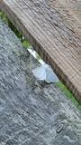 Hölzerne Wissenschaftsidentifizierung weißen Motte Virginianbärenspinner Michigan-Insekts Stockfotografie