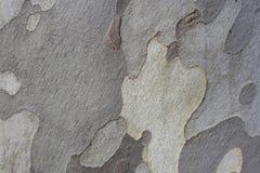 Hölzerner Beschaffenheitshintergrund des grauen Baums Stockfoto