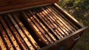 Hölzerner Bienenstock, in dem der Rahmen für Bienenwaben installiert ist Bienen fliegen über den Bienenstock Mädchenimker setzt Z stock video footage