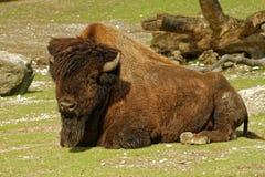 Hölzerner Bison Stockfotos
