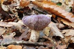Hölzerner blewit Pilz in den toten Blättern Lizenzfreie Stockbilder