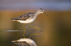 Hölzerner Flussuferläufer (Tringa Glareola) Lizenzfreie Stockfotos