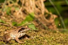 Hölzerner Frosch Stockfotografie