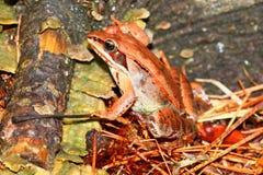 Hölzerner Frosch (Rana-sylvatica) Wisconsin Lizenzfreie Stockfotografie