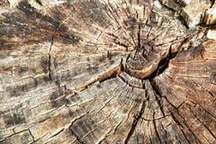 Hölzerner Hintergrund (Beschaffenheit) des beschnittenen alten trockenen Baums des Kreises (Stumpf) Stockbild