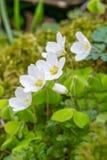 Hölzerner Sauerampfer blüht im Frühjahr Stockfoto