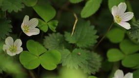 Hölzerner Sauerampfer blüht Oxalis-acetosella Grüner Hintergrund Stockfotos